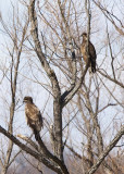 AMERICAN BALD EAGLES - IMMATURE