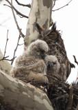 4/14 - GREAT HORNED OWL & 2 CHICKS