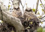 5/1 - GREAT HORNED OWL CHICKS