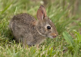 RABBIT - JUVENILE