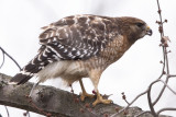 RED-SHOULDERED HAWK w/Snack