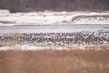 1000'S of CANADA GEESE at  LOST BRIDGE