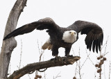 BALD EAGLES AT ALTON ILLINOIS