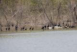 DOUBLE-CRESTED CORMORANTS -- 250+ ON OXBOW LAKE TODAY