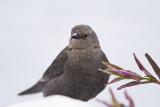 BREWER'S BLACKBIRD - FEMALE