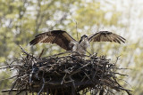 OSPREY - HOUSEKEEPING AT THE NEST