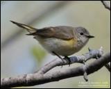 Female American Redstart
