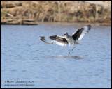 Willet in Flight (landing)
