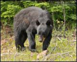 Black Bear - Looking for Food