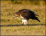 Red-tailed Hawk - Rabbit for breakfast II