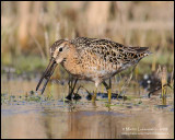 Short-billed Dowitcher with Lunch