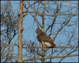 Red-tailed Hawk (ID Shot)