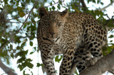 A Leopard  looking at you ...