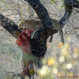 After a Kill ...Leopard with an Impala in a tree
