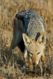 Black-backed Jackal (Not a cat for once !)