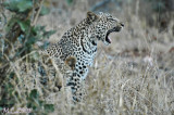 Art of camouflage (Leopard)
