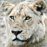 Lionnes Portrait, Stop  on the road to Kill