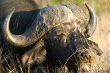 Buffalo Soldier ... close-up (South Africa)