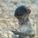 Monkeys of South Africa