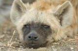 Hyena looking at you