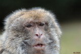 I am a old lady but  I am (Macaque Montagne aux singes Alsace)