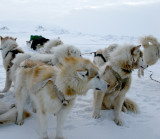 Artic dog team rearing to go