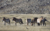 wild native horses