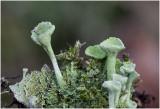 groen Bekermos - Cladonia fimbriata