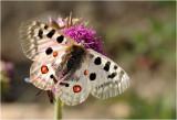 Apollovlinder - Parnassius apollo