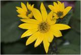 Aardpeer - Helianthus tuberosus