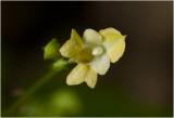 klein Springzaad - Impatiens parviflora