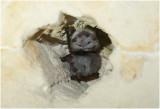 Vleermuizen - Franjestaart - Myotis nattereri