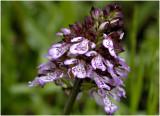 Purperorchis - Orchis purpurea
