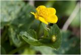 gewone Dotterbloem. - Caltha palustris