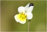 Akkerviooltje - Viola arvensis