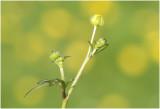 scherpe Boterbloem  - Ranunculus acris