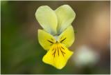 Zinkviooltje - Viola lutea