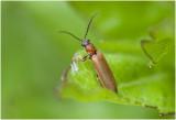 rood Soldaatje - Rhagonycha fulva