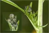 groot Streepzaad - Crepis biennis