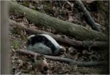 GALLERY Eurasian Badger - Das - Meles meles