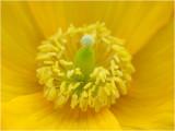 Schijnpapaver - Meconopsis cambrica