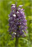 Orchidee Soldaatje - Orchis militaris