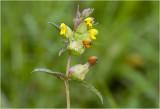 kleine Ratelaar - Rhinanthus minor
