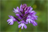Hondskruid Orchidee - Anacamptis pyramidalis