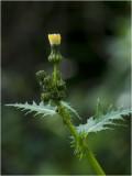 Akkermelkdistel - Sonchus arvensis