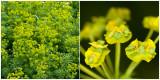 Heksenmelk of Roedewolfsmelk -  Euphorbia esula