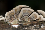 Elfenbankje - Trametes versicolor