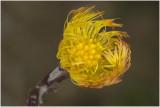 klein Hoefblad - Tussilago farfara ( bloem )