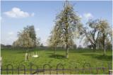 Eckelrade - hoogstam bloesem
