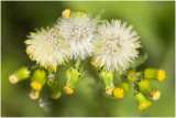 klein Kruiskruid - Senecio vulgaris
